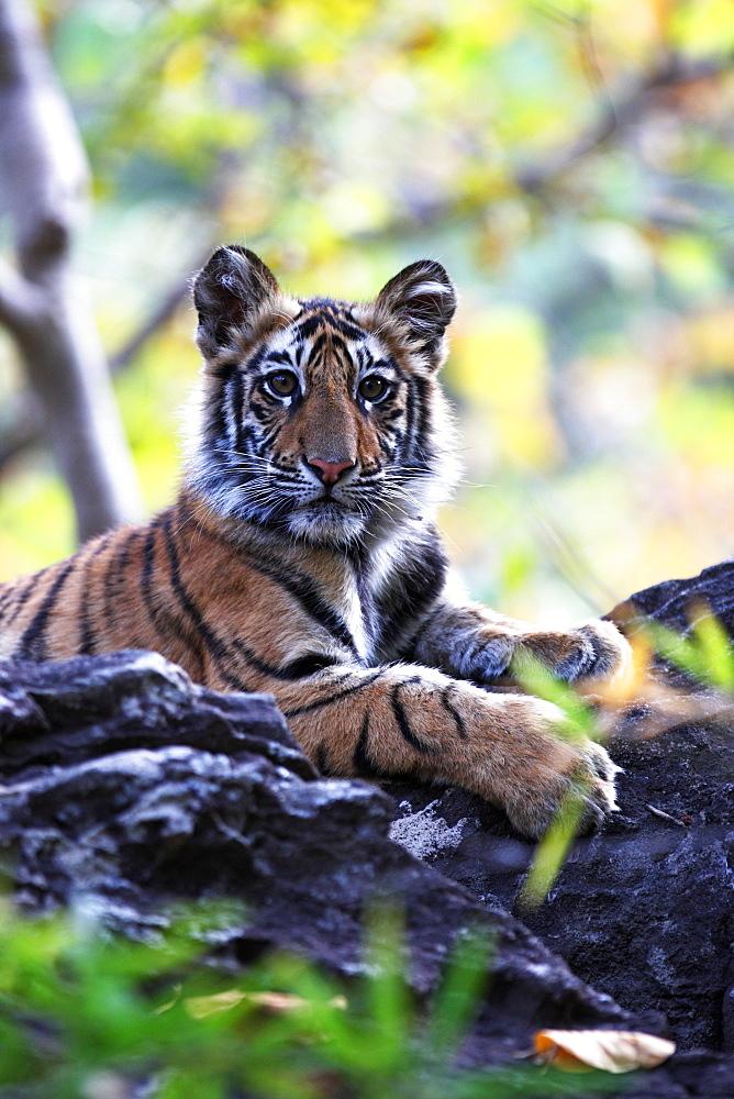 Bengal tiger, Panthera tigris tigris, Bandhavgarh National Park, Madhya Pradesh, India - 1106-2