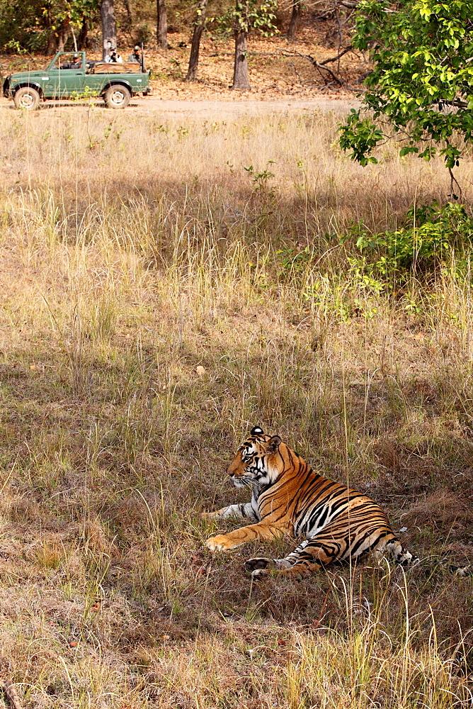 Wild Bengal tiger (Panthera tigris tigris), Bandhavgarh Tiger Reserve, Madhya Pradesh, India, Asia - 1106-25