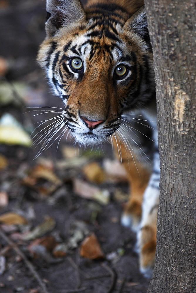 Bengal tiger, Panthera tigris tigris, Bandhavgarh National Park, Madhya Pradesh, India - 1106-7