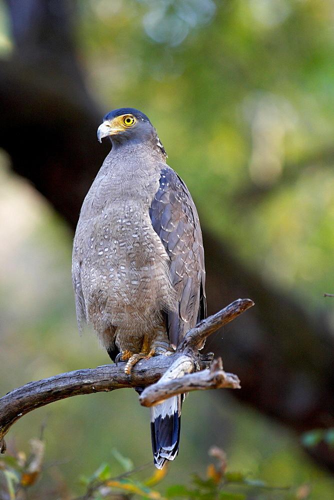 Crested serpent-eagle (Spilornis cheela), Bandhavgarh National Park, Madhya Pradesh, India, Asia  - 1106-8