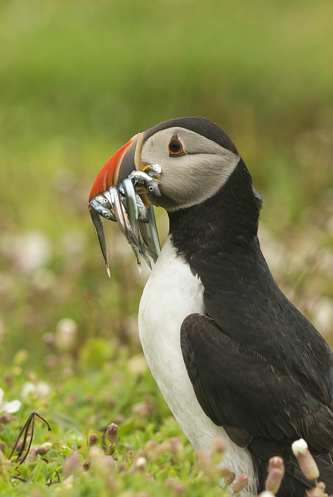 Puffin with beak full of sand eels, Wales, United Kingdom, Europe - 1108-9