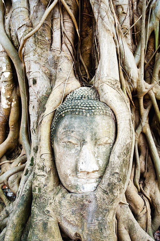 Large stone Buddha head in fig tree roots, Wat Mahathat, Ayutthaya, UNESCO World Heritage Site, Thailand, Southeast Asia, Asia