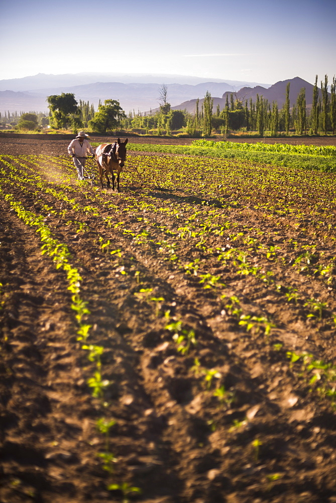 Pimiento farmer farming at sunrise in the Cachi Valley, Calchaqui Valleys, Salta Province, North Argentina, South America