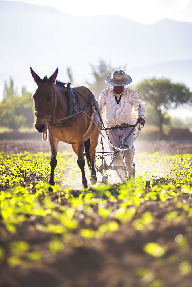 Farmer in the Cachi Valley, Calchaqui Valleys, Salta Province, North Argentina, Argentina, South America