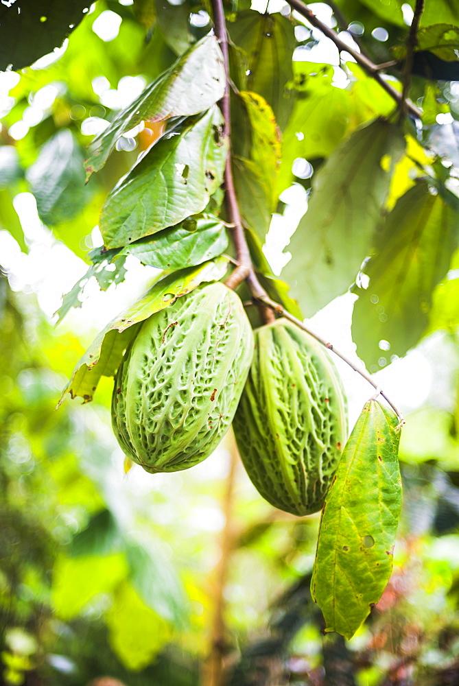 White cacao tree, Amazon Rainforest, Coca, Ecuador, South America