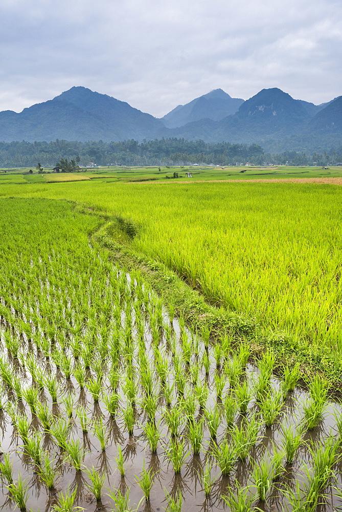 Rice paddy fields, Bukittinggi, West Sumatra, Indonesia, Southeast Asia, Asia