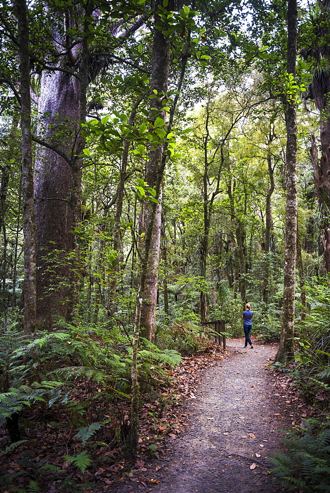 Tourist exploring Waipoua Kauri Forest, Northland Region, North Island, New Zealand, Pacific