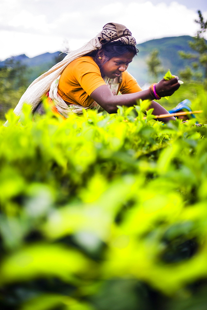 Tea picker in a tea plantation in the Hill Country, Central Highlands, Nuwara Eliya District of Sri Lanka, Asia