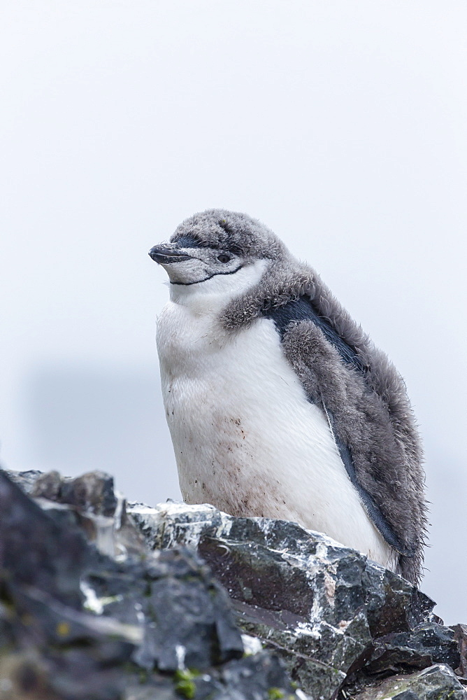 Chinstrap penguin (Pygoscelis antarctica) chick, Hannah Point, Livingston Island, South Shetland Islands, Antarctica, Southern Ocean, Polar Regions