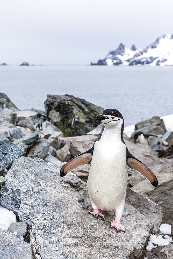 Adult chinstrap penguin (Pygoscelis antarctica), Half Moon Island, South Shetland Islands, Antarctica, Southern Ocean, Polar Regions