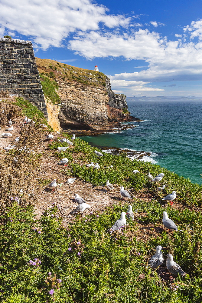 Red-billed gulls (Chroicocephalus scopulinus), breeding colony near Dunedin, Otago, South Island, New Zealand, Pacific