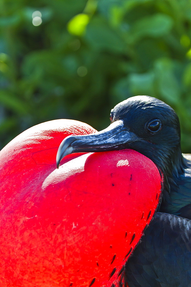 Adult male magnificent frigatebird (Fregata magnificens), North Seymour Island, Galapagos Islands, UNESCO World Heritage Site, Ecuador, South America