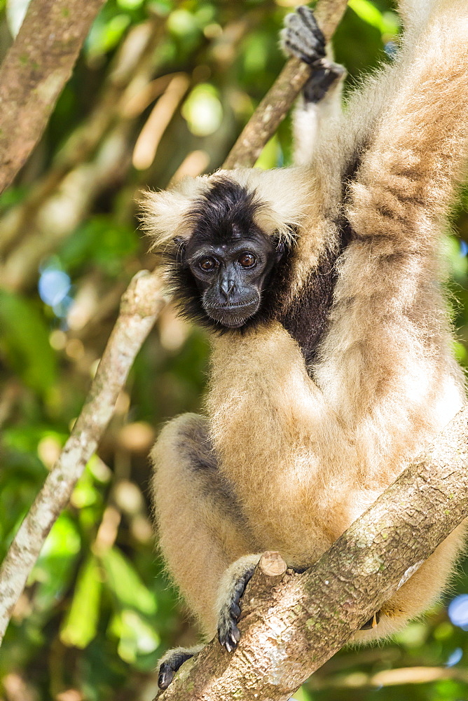 Adult female pileated gibbon (Hylobates pileatus) adopted by monks at Wat Hanchey, Kampong Cham Province, Cambodia, Indochina, Southeast Asia, Asia