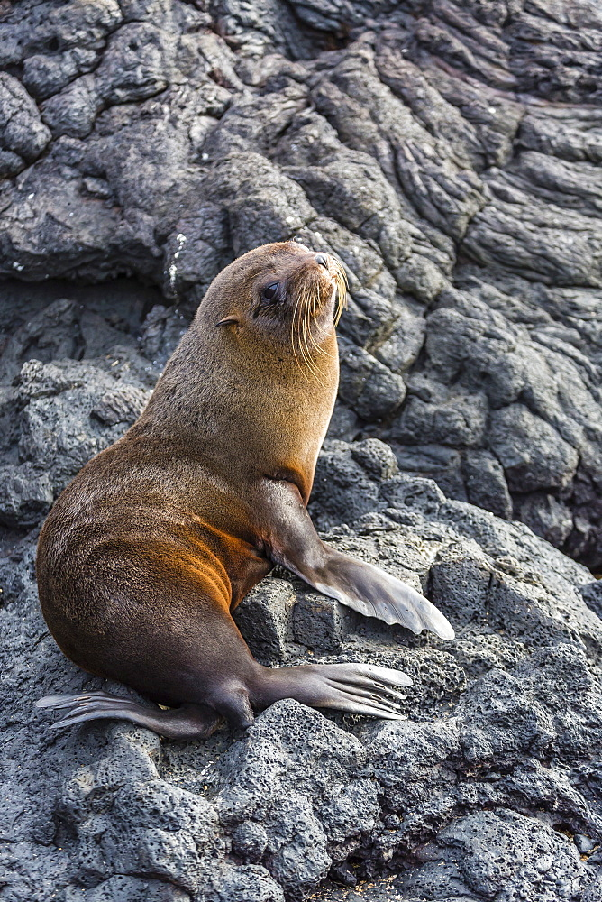 Galapagos fur seal (Arctocephalus galapagoensis) hauled out at Puerto Egas, Santiago Island, Galapagos Islands, Ecuador, South America