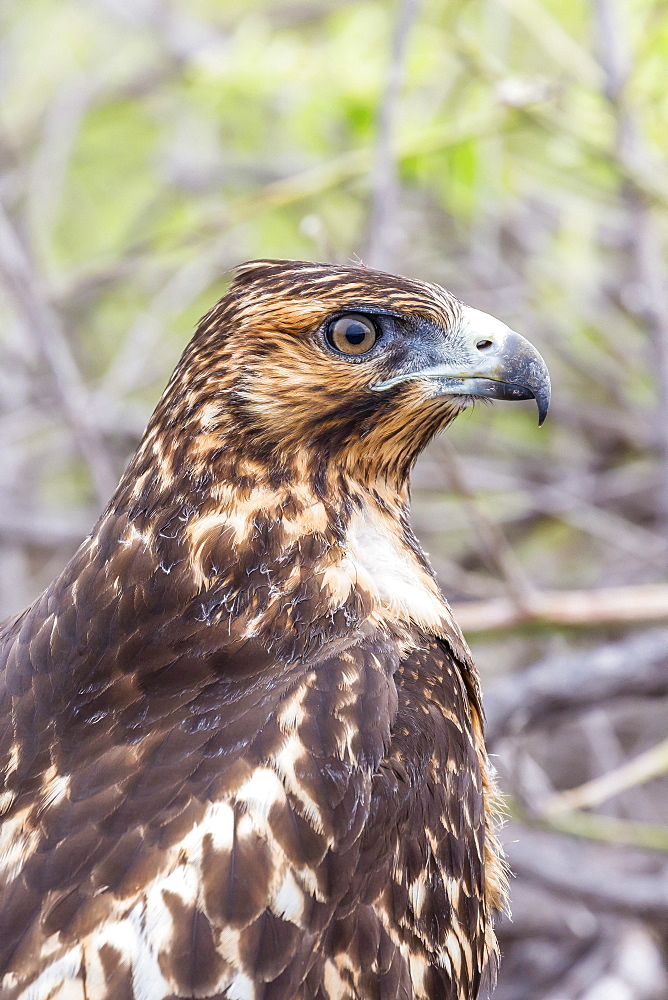 Immature Galapagos hawk (Buteo galapagoensis) in Urbina Bay, Isabela Island, Galapagos Islands, Ecuador, South America