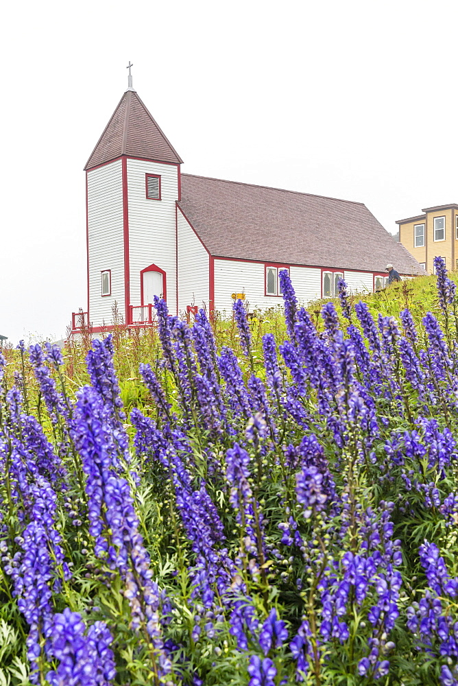 Monkshood (aconitum) flowers in front of the church in the small preserved fishing village of Battle Harbour, Labrador, Canada, North America