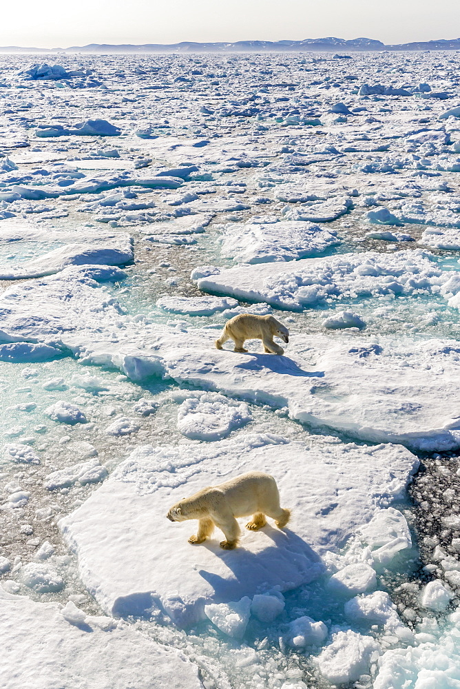 Adult polar bears (Ursus maritimus), confrontation on ice floe, Cumberland Peninsula, Baffin Island, Nunavut, Canada, North America