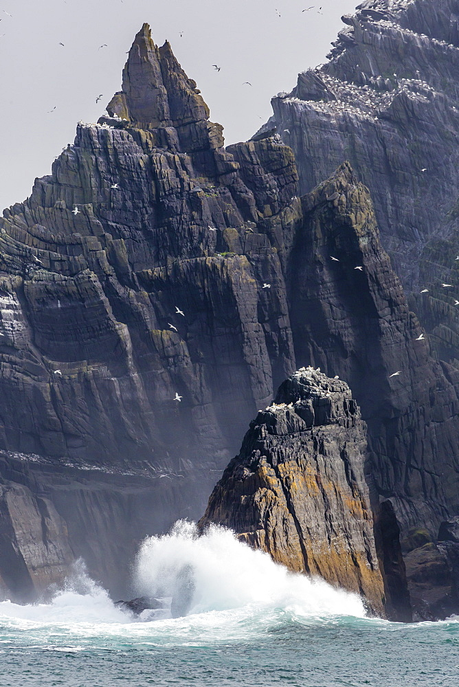 Northern gannet nesting colony on the wave crashed island of Little Skellig Michael, County Kerry, Irish Sea, Republic of Ireland, Europe