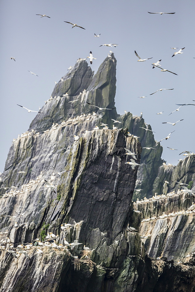 Northern gannet nesting colony on the island of Little Skellig Michael, County Kerry, Munster, Irish Sea, Republic of Ireland, Europe