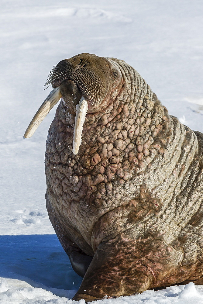 Adult bull Atlantic walrus (Odobenus rosmarus rosmarus) hauled out on ice in Storfjorden, Svalbard, Norway, Scandinavia, Europe