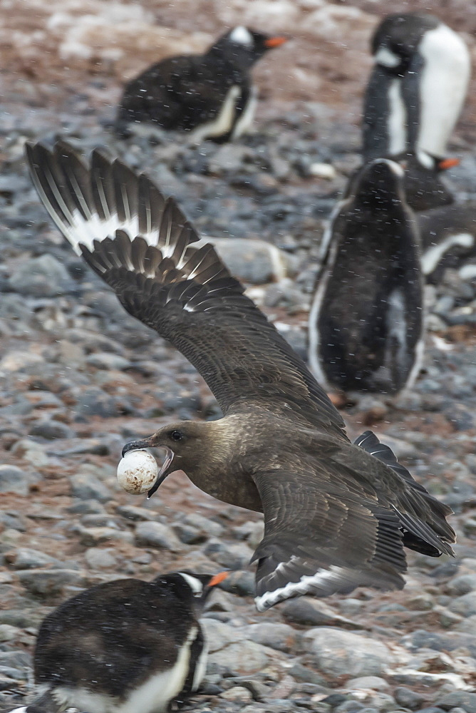 An adult brown skua (Stercorarius spp), with a stolen gentoo penguin egg at Cuverville Island, Antarctica, Polar Regions