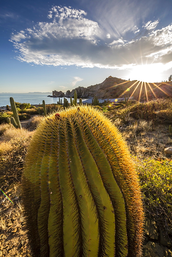 Sunset on an endemic giant barrel cactus (Ferocactus diguetii) on Isla Santa Catalina, Baja California Sur, Mexico, North America