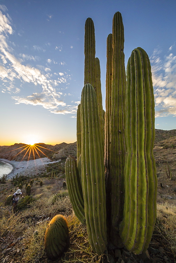 A Mexican giant cardon cactus (Pachycereus pringlei) at sunset on Isla Santa Catalina, Baja California Sur, Mexico, North America