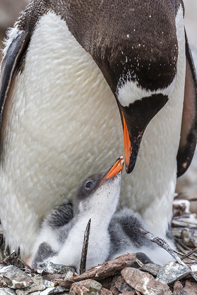Gentoo penguin (Pygoscelis papua) adult on nest with young chicks on Cuverville Island, Antarctica, Polar Regions