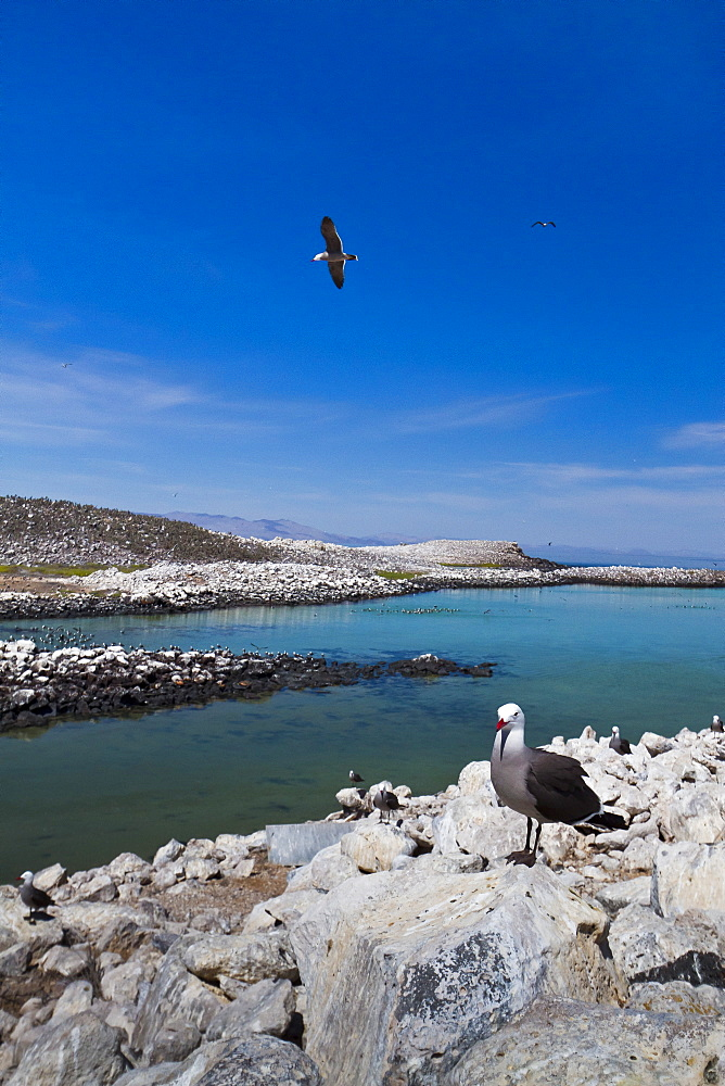 Heermann's gulls (Larus heermanni), Isla Rasa, Gulf of California (Sea of Cortez), Mexico, North America