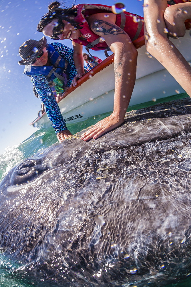 California gray whale calf (Eschrichtius robustus), with whale watchers in San Ignacio Lagoon, Baja California Sur, Mexico, North America