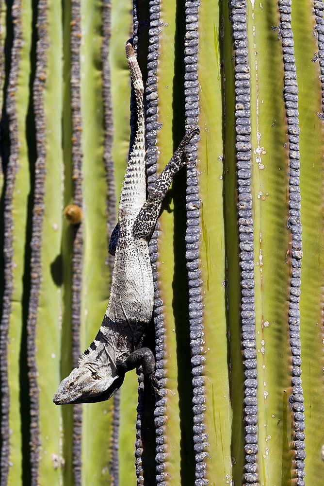 San Esteban spiny-tailed iguana (Ctenosaura conspicuosa) on cardon cactus, Isla San Esteban, Gulf of California (Sea of Cortez), Baja California, Mexico, North America