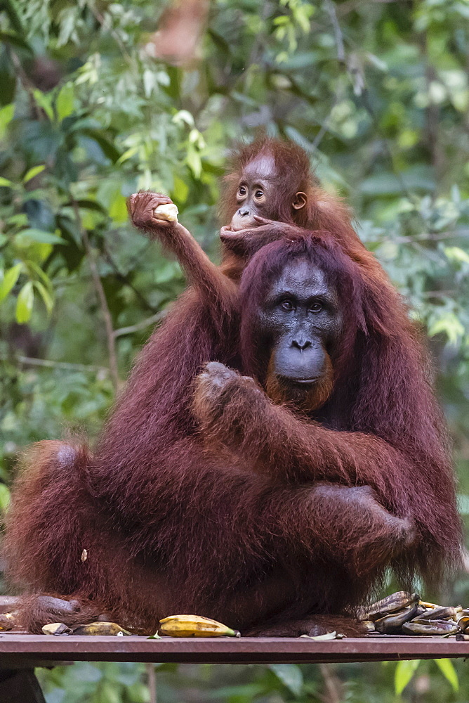 Mother and baby Bornean orangutan, Pongo pygmaeus, at Camp Leakey, Borneo, Indonesia. - 1112-3658