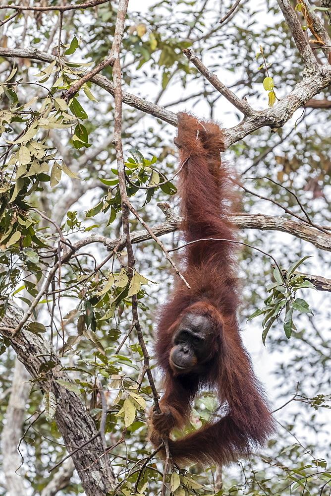 Bornean orangutan (Pongo pygmaeus), Buluh Kecil River, Borneo, Indonesia, Southeast Asia, Asia - 1112-3672