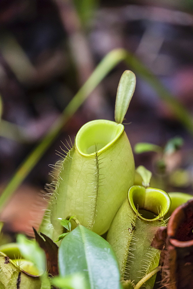 Pitcher plant in the rain forest, Tanjung Puting National Park, Borneo, Indonesia.