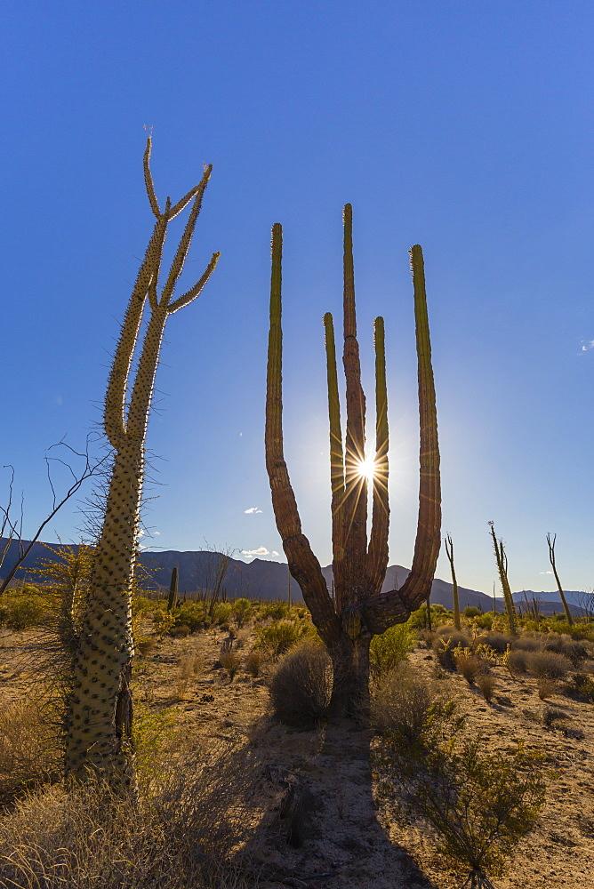 Boojum tree, cirio (Fouquieria columnaris), Bahia de los Angeles, Baja California, Mexico, North America