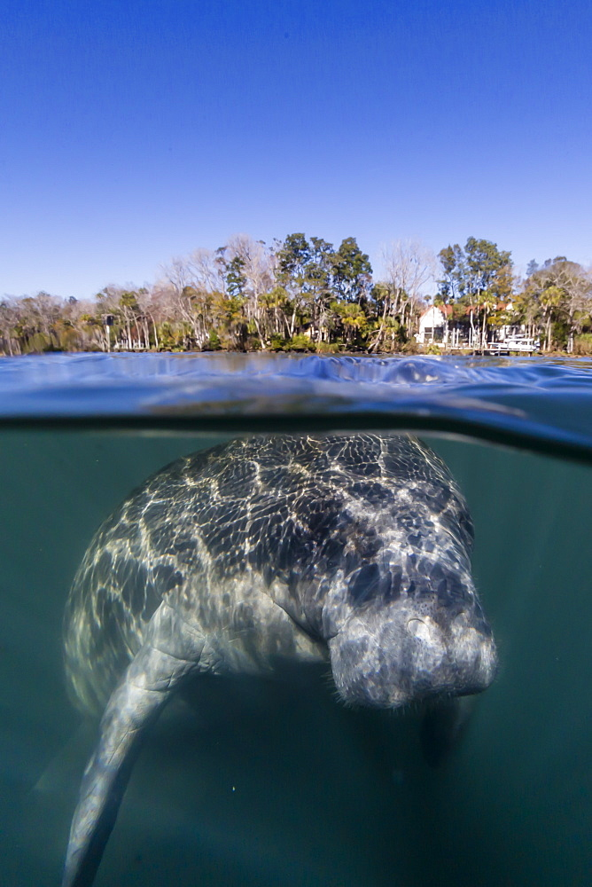 West Indian manatee, Trichechus manatus, half above and half below, Homosassa Springs, Florida, USA. - 1112-3748