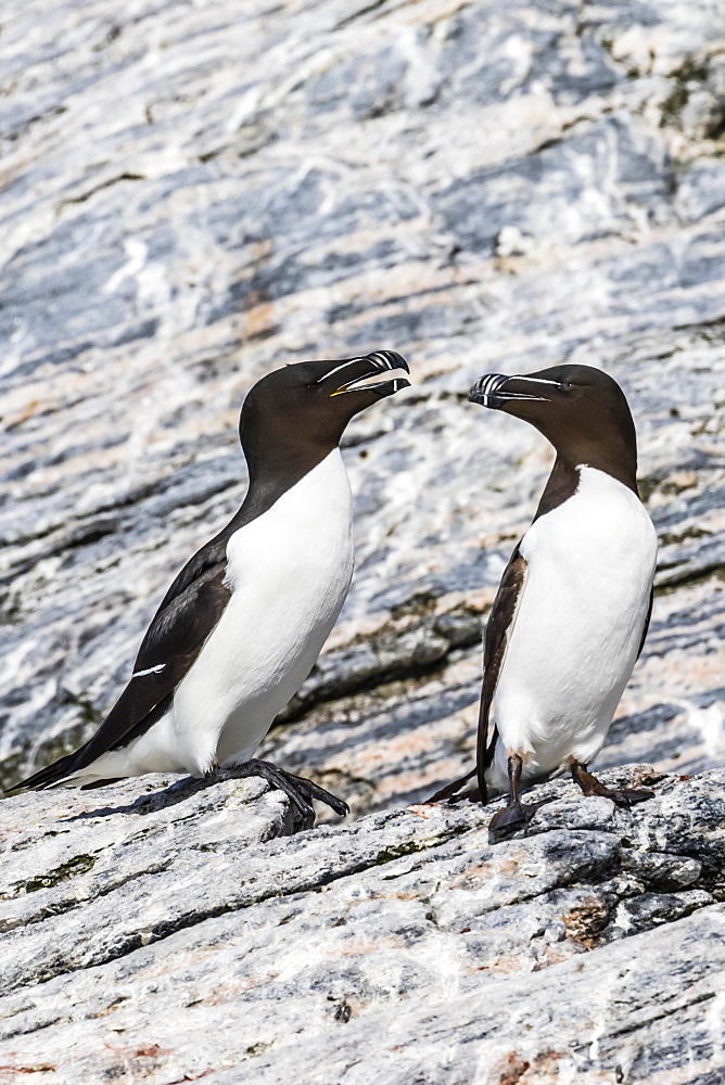 Adult razorbills (Alca torda) at the abandoned fishing settlement at Mastad on the island of Voroya, Norway, Scandinavia, Europe