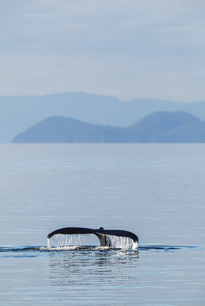 Adult humpback whale, Megaptera novaeangliae, flukes-up dive in Stephen's Passage, Southeast Alaska, USA. - 1112-3820