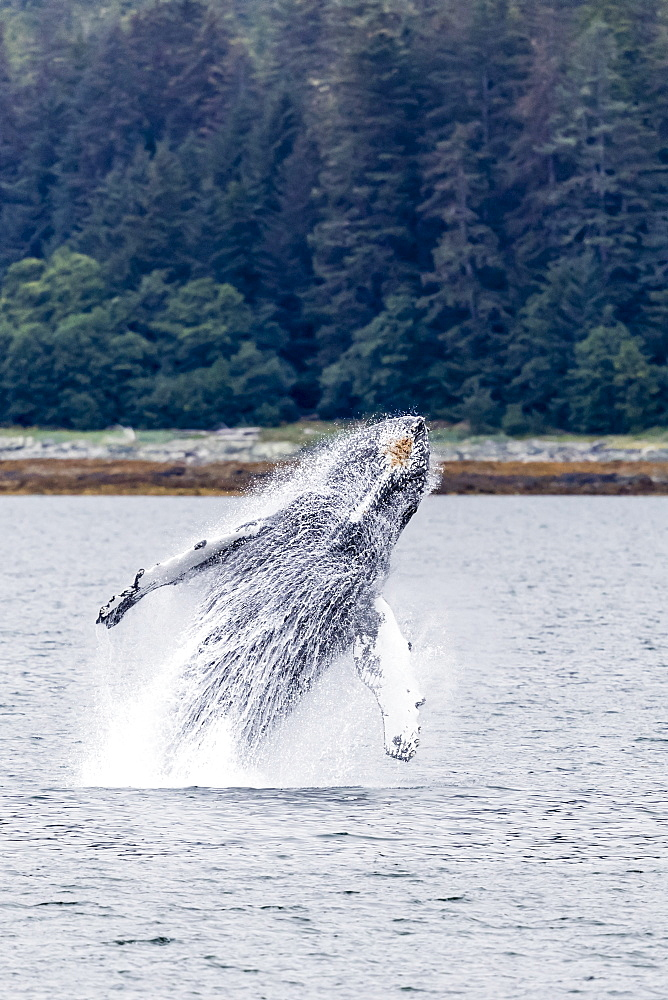 Humpback whale, Megaptera novaeangliae, breaching near the Glass Peninsula, southeast Alaska, USA. - 1112-3827