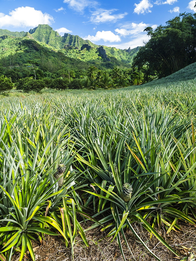 Pineapple plantation in Opunohu Valley, Moorea, Society Islands, French Polynesia, South Pacific, Pacific