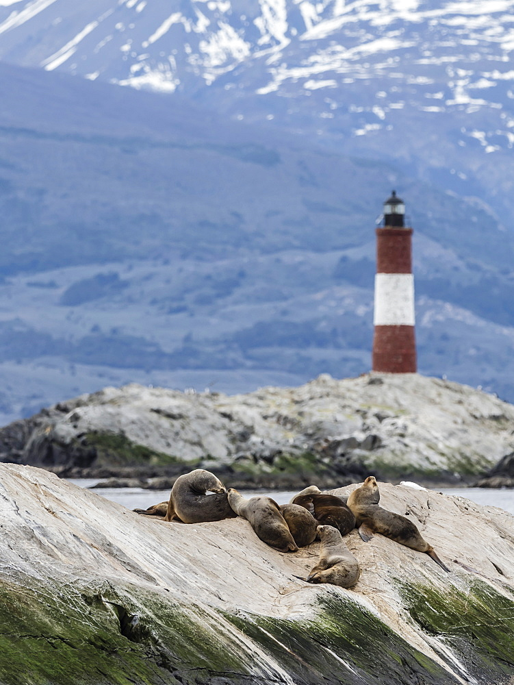 South American sea lions, Otaria flavescens, on a small islet in the Beagle Channel, Ushuaia, Argentina.