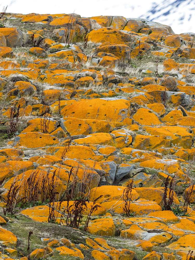 Elegant lichens, Orange Sea Lichen, Caloplaca marina,  covering the surface of a small islet in the Beagle Channel, Ushuaia, Argentina, South America