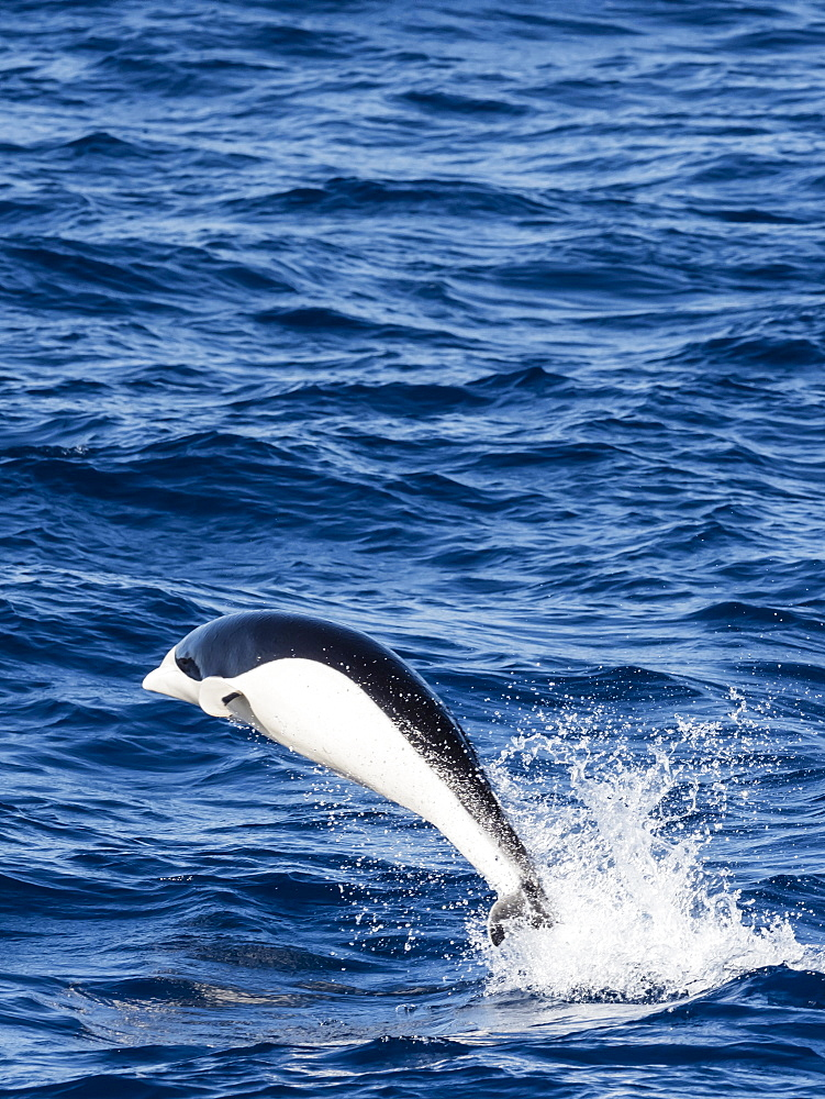 A adult Southern right whale dolphin, Lissodelphis peronii, travelling at high speed, Southern Atlantic Ocean.