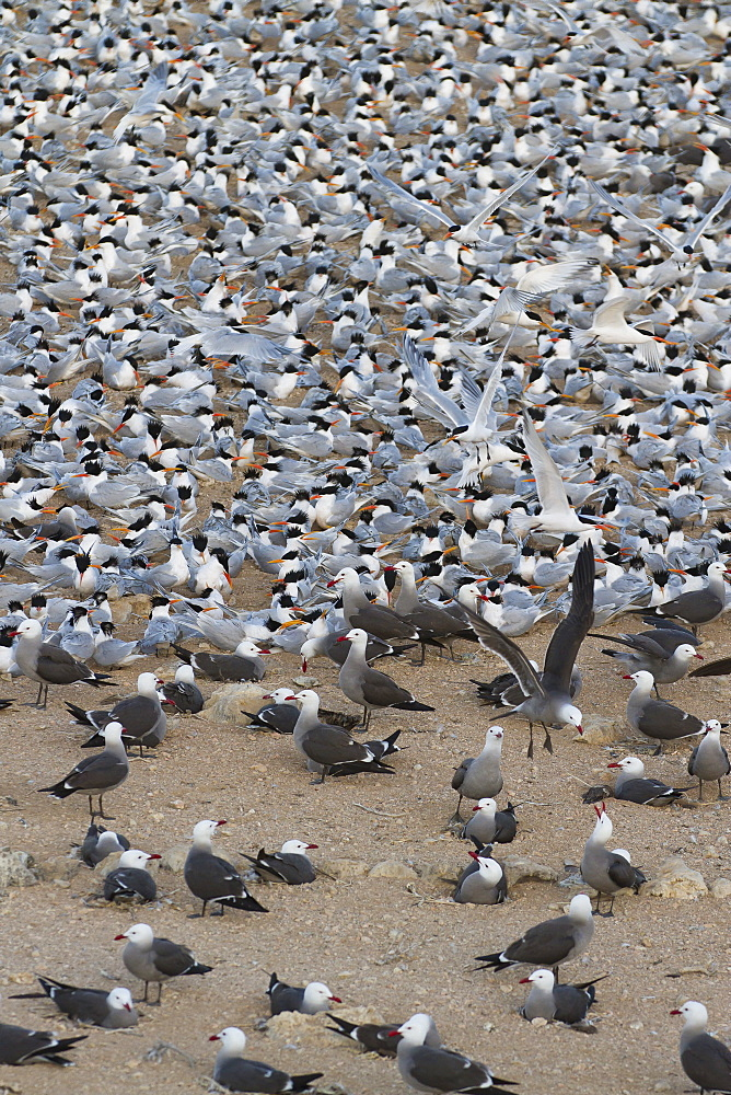 Elegant tern (Thalasseus elegans) and Heermann's gull (Larus heermanni) breeding colony, Isla Rasa, Gulf of California (Sea of Cortez), Baja California, Mexico, North America