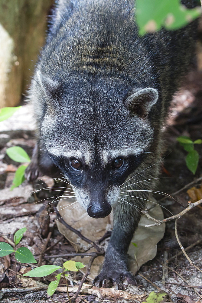 An adult crab-eating raccoon, Procyon cancrivorus, Manuel Antonio National Park, Costa Rica, Central America