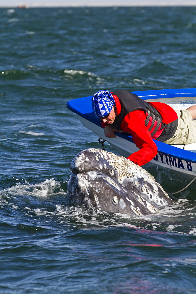 California gray whale (Eschrichtius robustus) and whale watcher on boat, San Ignacio Lagoon, Baja California Sur, Mexico, North America