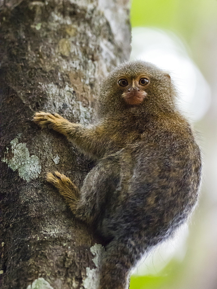 Adult pygmy marmoset (Cebuella pygmaea), Lake Clavero, Amazon Basin, Loreto, Peru, South America