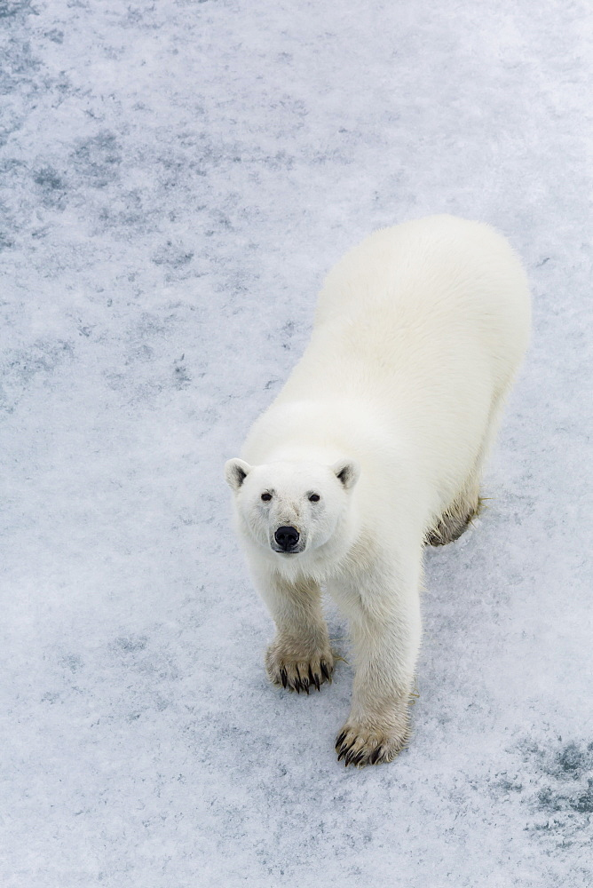 A curious young polar bear (Ursus maritimus) on the ice in Bear Sound, Spitsbergen Island, Svalbard, Norway, Scandinavia, Europe  - 1112-828