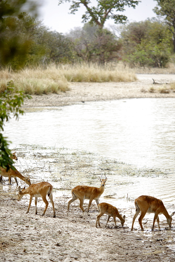 Antelopes at Mar Diwouini water hole, Penjari National Park, Benin