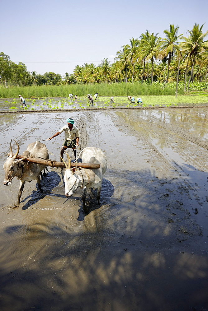 Ox plow on flooded rice field, Somanathapura, Karnataka, India